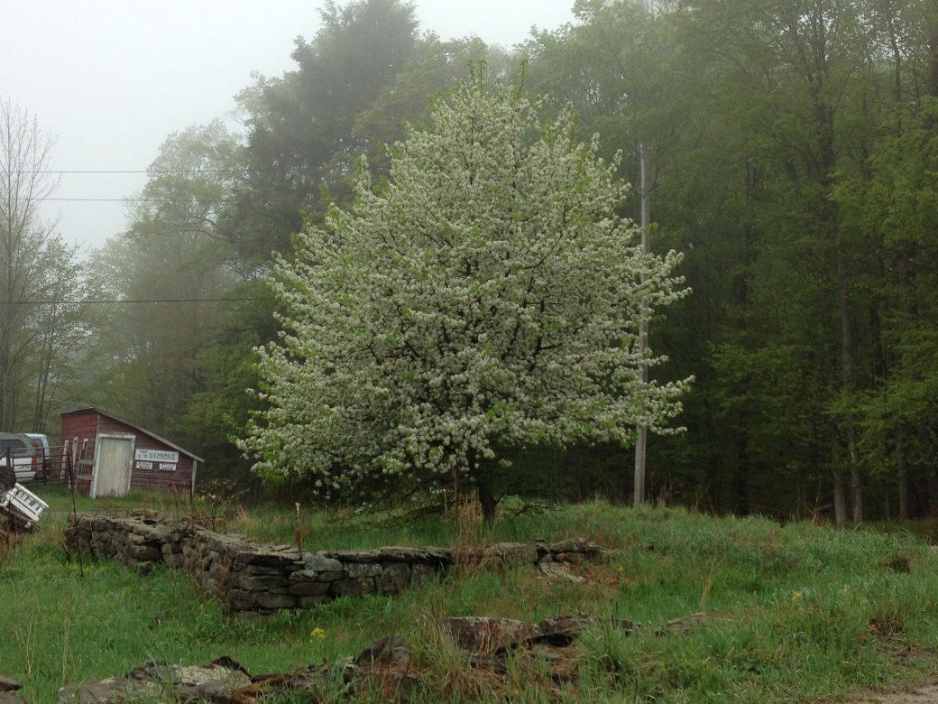 MARK'S PEAR TREE